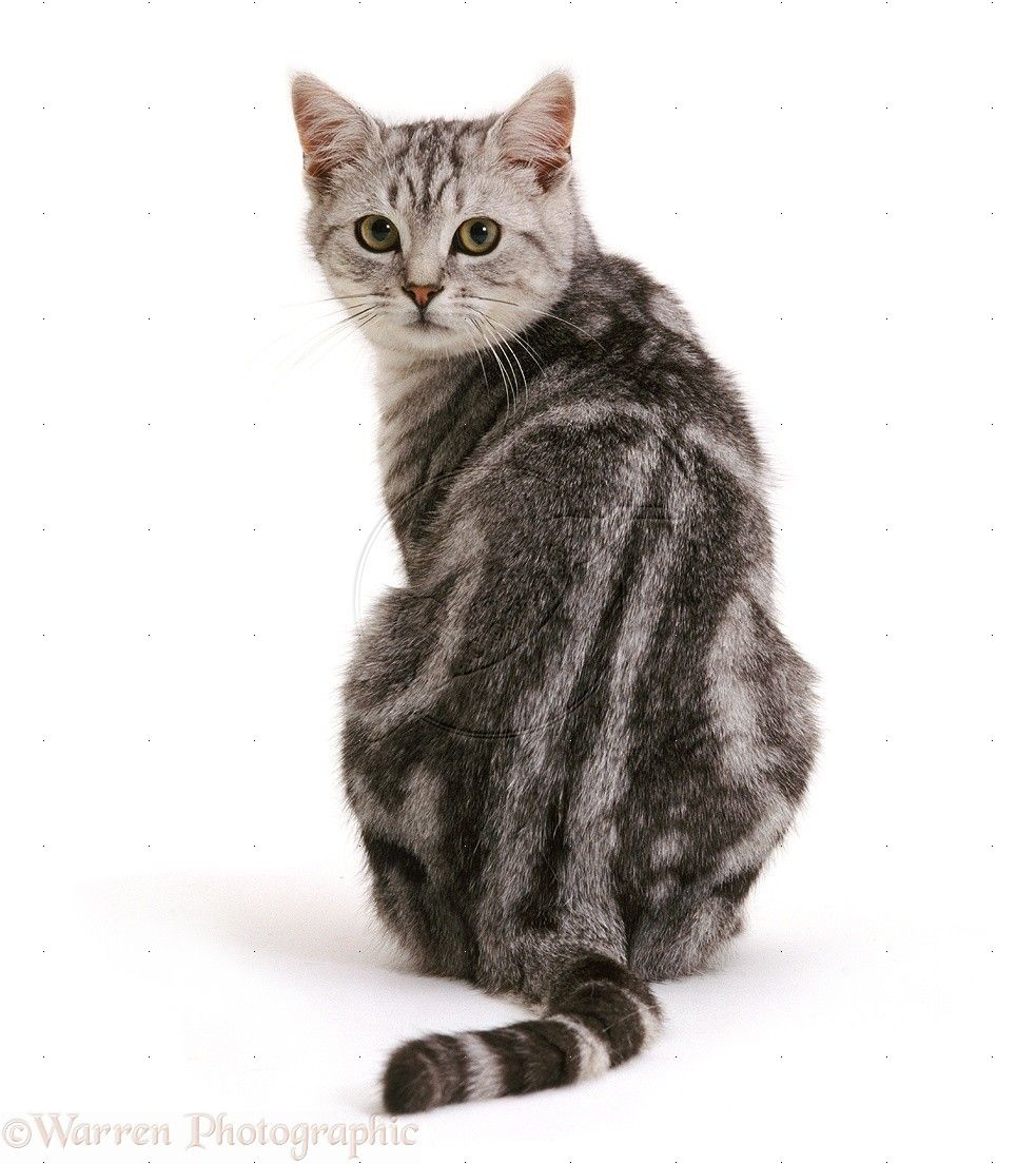 cat sitting from back Google Search Silver tabby cat