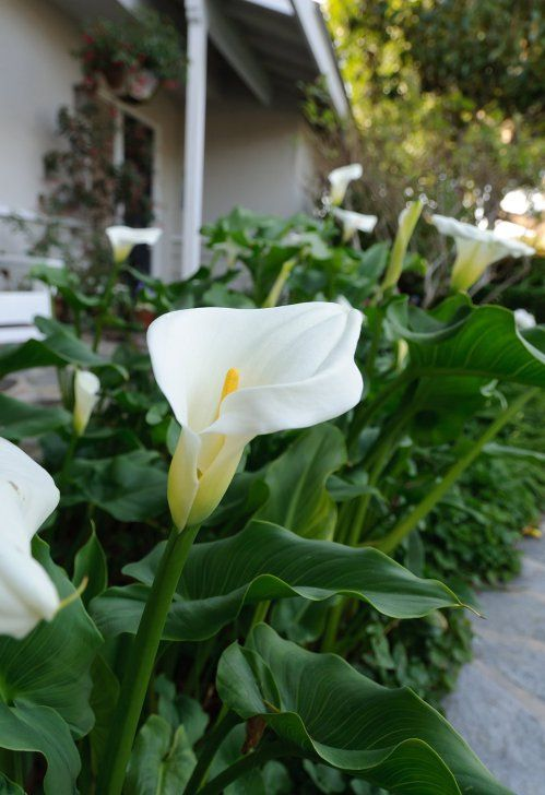 This Giant Calla Lily Seems To Enjoy Our Shady Front Garden. It Grows To  Almost 4 Feet Tall With Blooms As Big As My Hand!   The Handymanu0027s Daughter