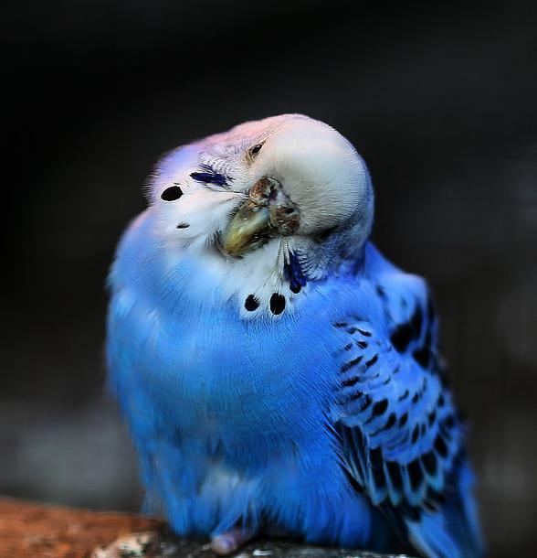 Check This Out Quaker Parakeets As Pets Google Blue Parakeet Budgies Bird Parakeet