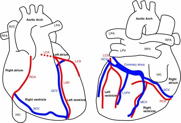 Coronary vein anatomy
