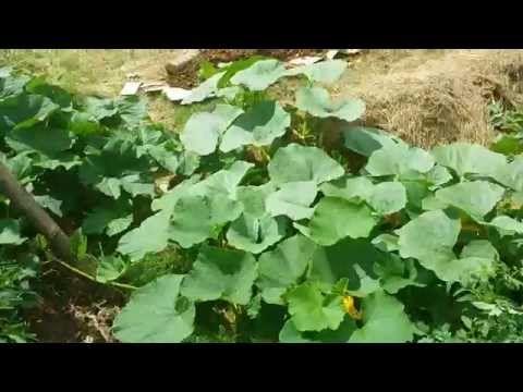 permaculture suite du potager sans terre et sans arrosage partie 4