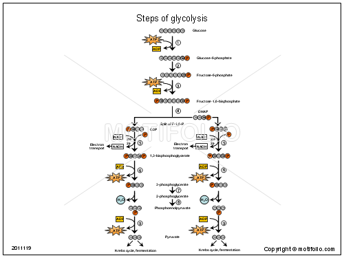 Steps Of Glycolysis Ppt Powerpoint Drawing Diagrams Templates Images Slides Diagram Templates Powerpoint
