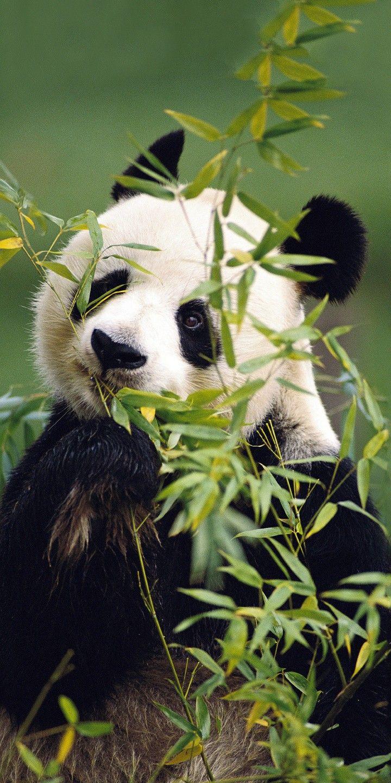 Dating panda
