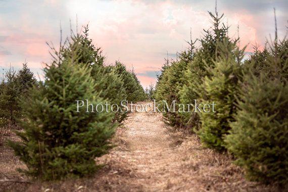 Christmas Tree Farm Sunset Evergreen Trees Photography Etsy Christmas Tree Photography Evergreen Trees Christmas Tree Farm