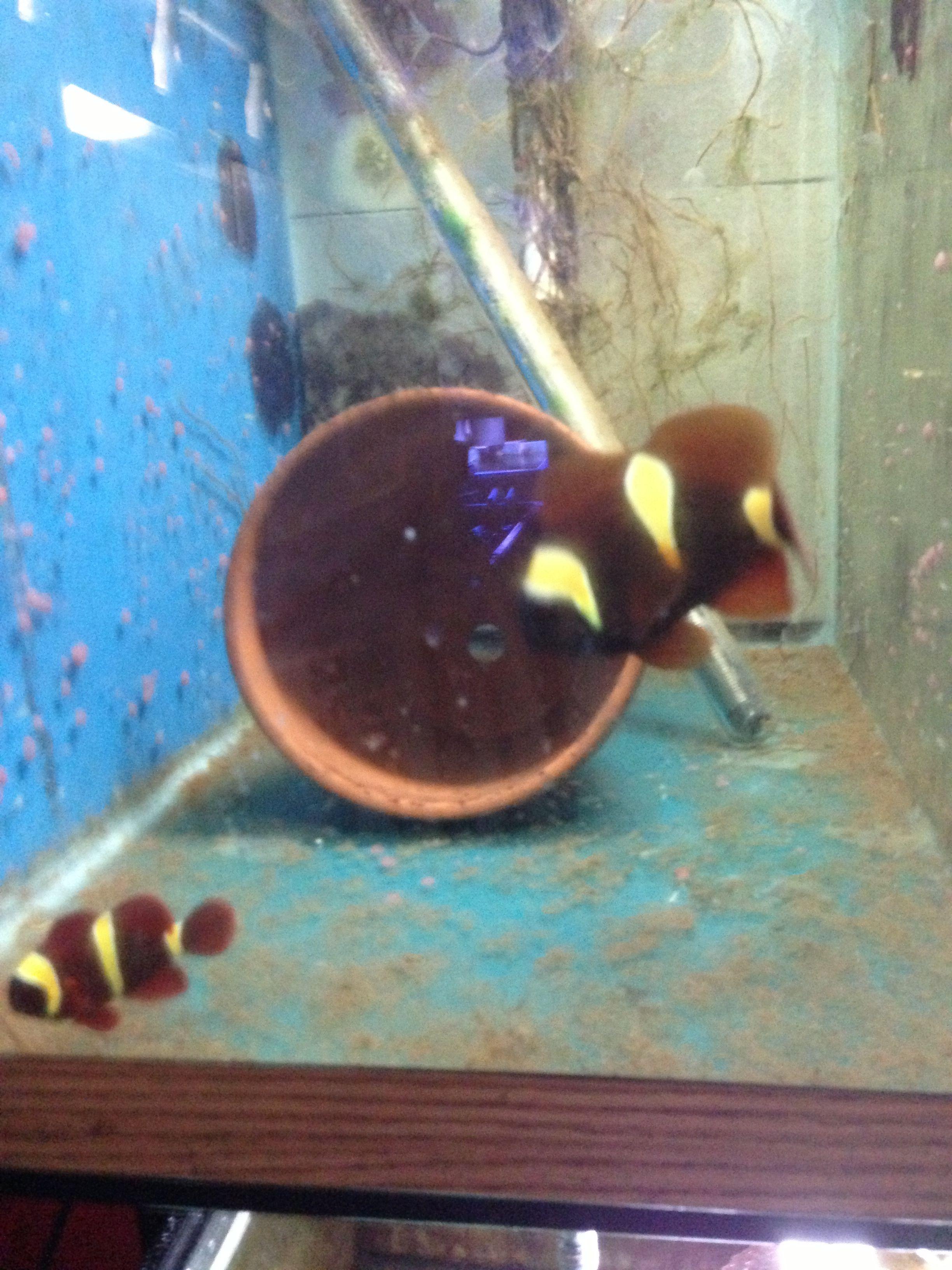 Golden Barred Maroon Clown Fish Clownfish Clown Fish Fish Fish Pet