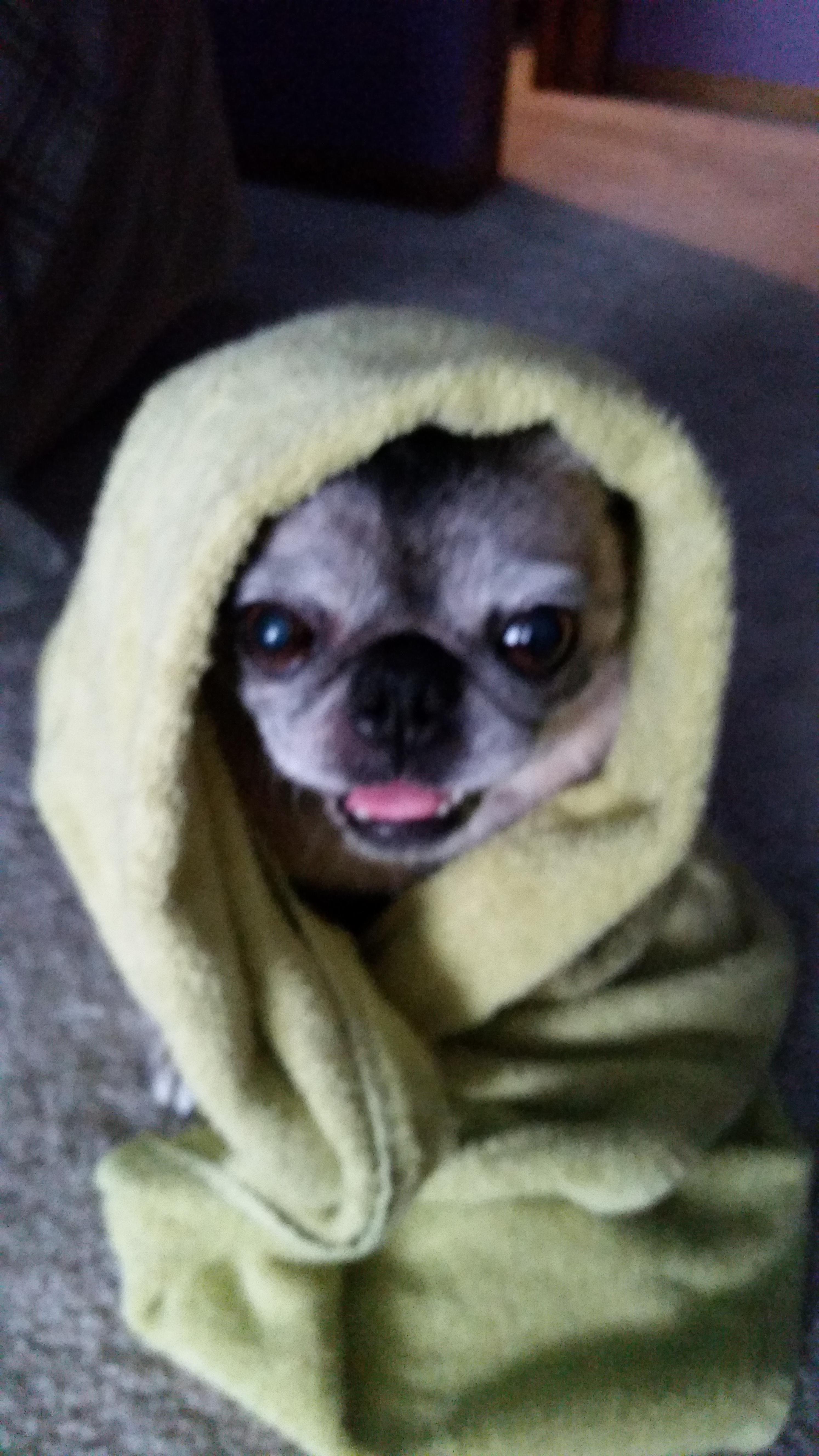 Chloe After Her Bath Https Ift Tt 2k8foxr Pugs Funny