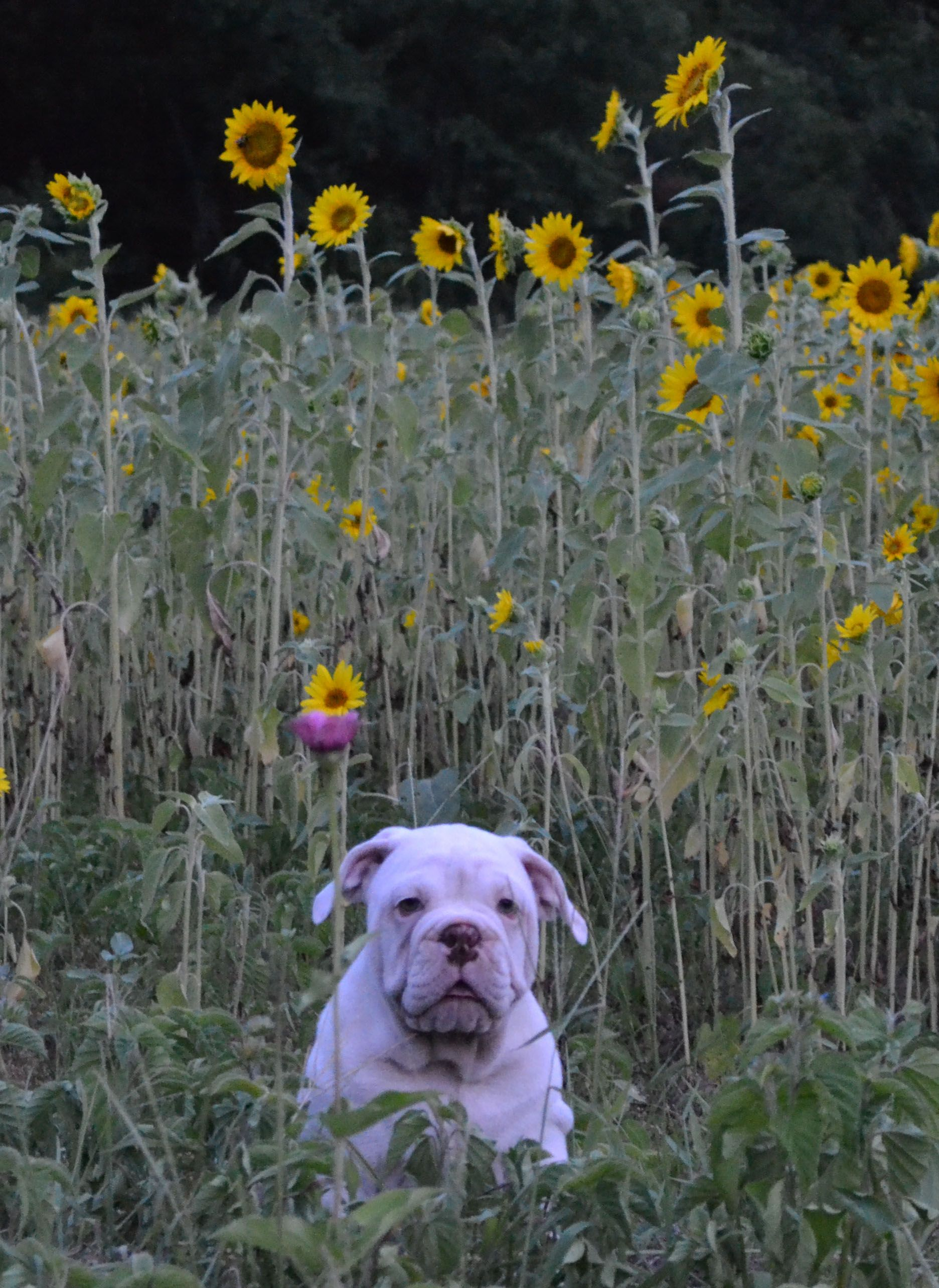 Moonshine Posing In The Sunflowers Today Olde English Bulldogge