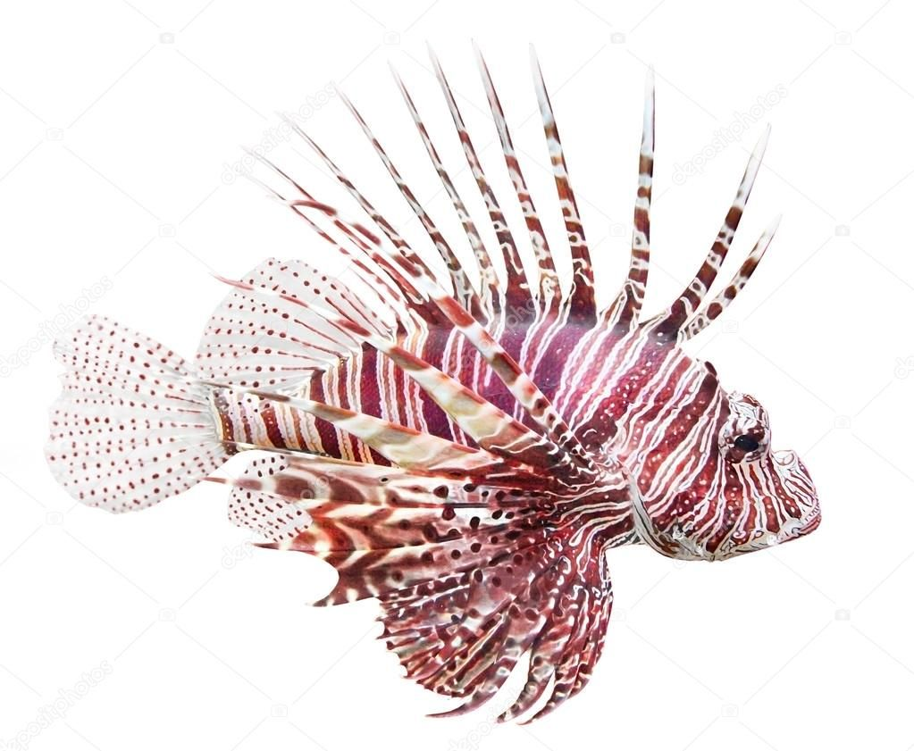 Tropical Fish The Red Lionfish Pterois Volitans Royalty Free Stock Images Aff Lionfish Pterois Red Tro Tropical Fish Art Lion Fish Fish Drawings