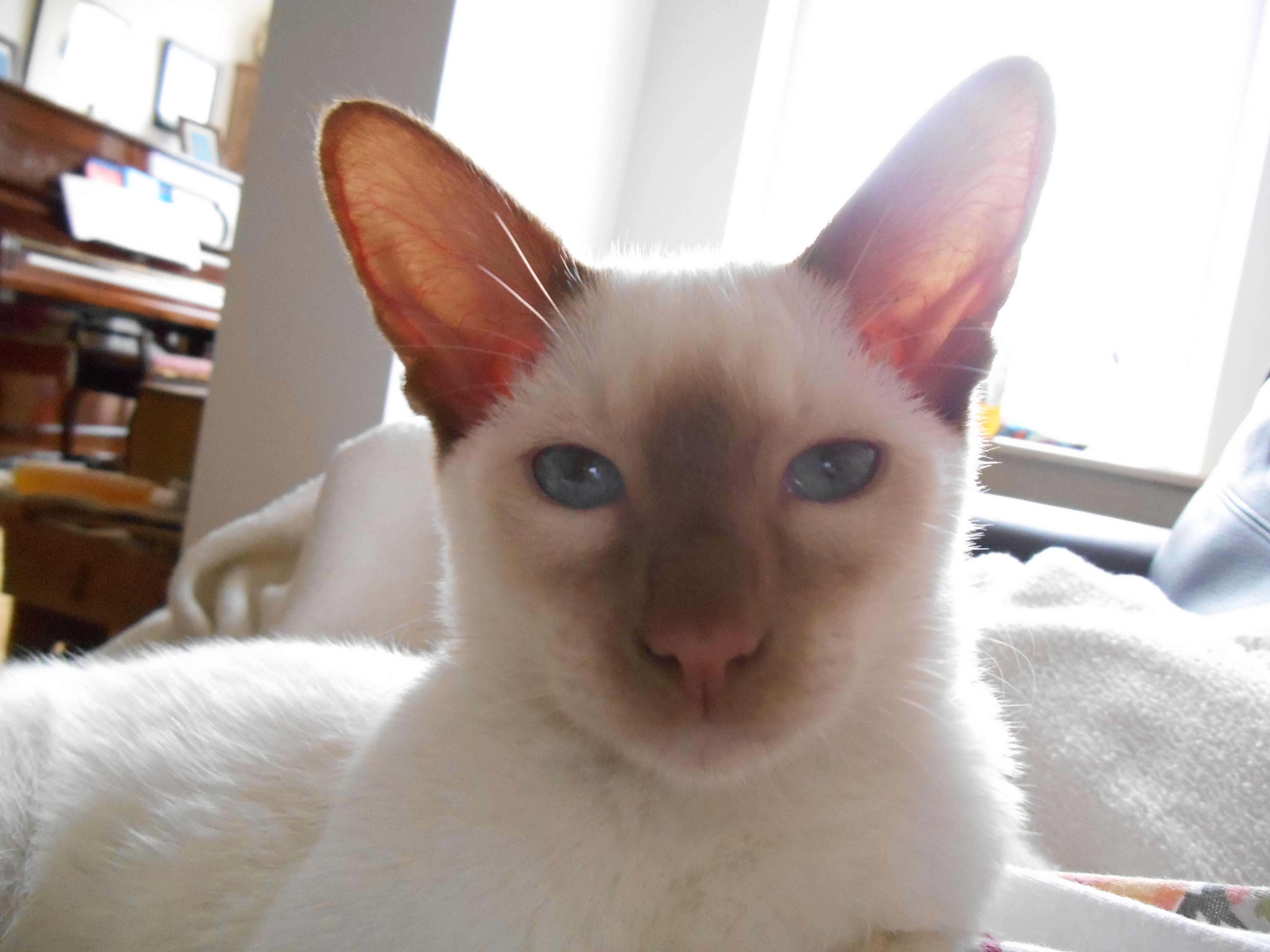 Bailey as a kitten Siamese cat