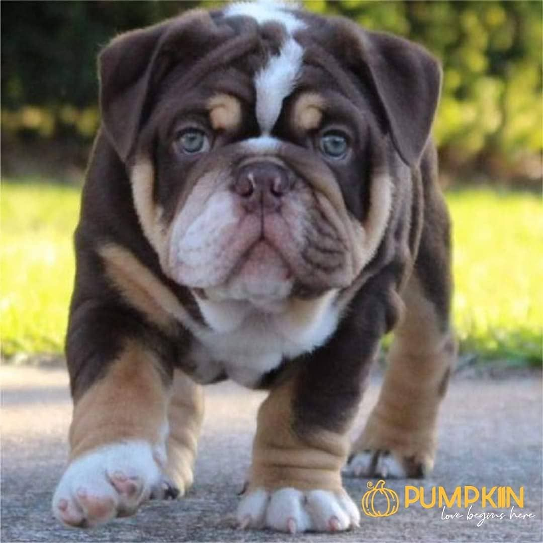 English Bulldogs Have Short And Stocky And Low To The Ground With