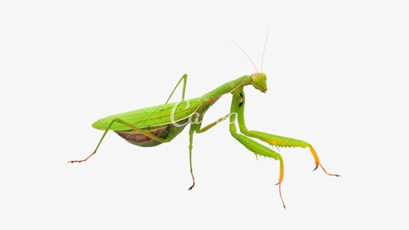 Pin By Abigail Torres On Png Habitat Garden Praying Mantis Png