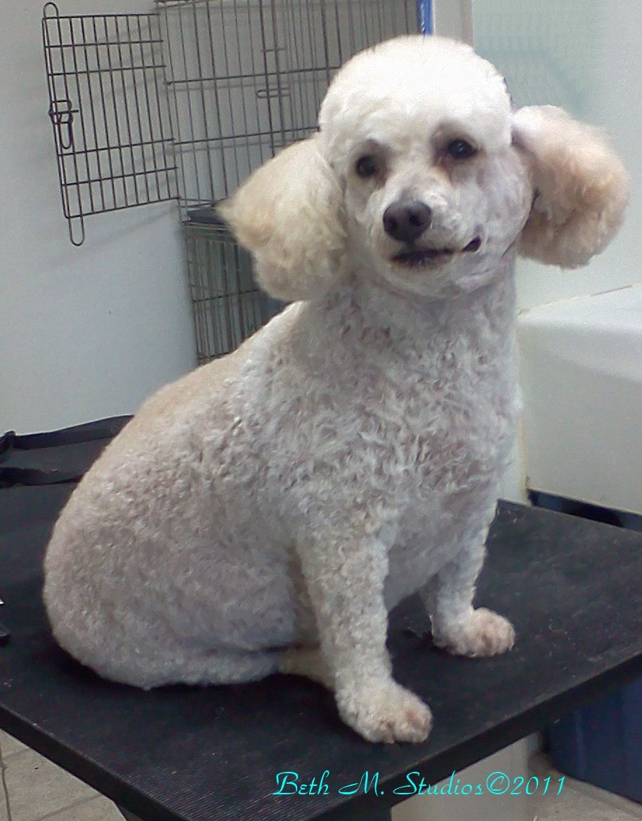 Lucky (Moyan Size Poodle) After Pet Style http//www