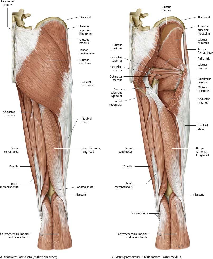 Thigh-muscle-anatomy-posterior-view-removed-gluteus-maximus-and ...