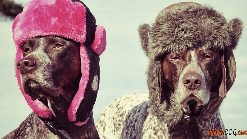 Pointer dog breed in cool hats.