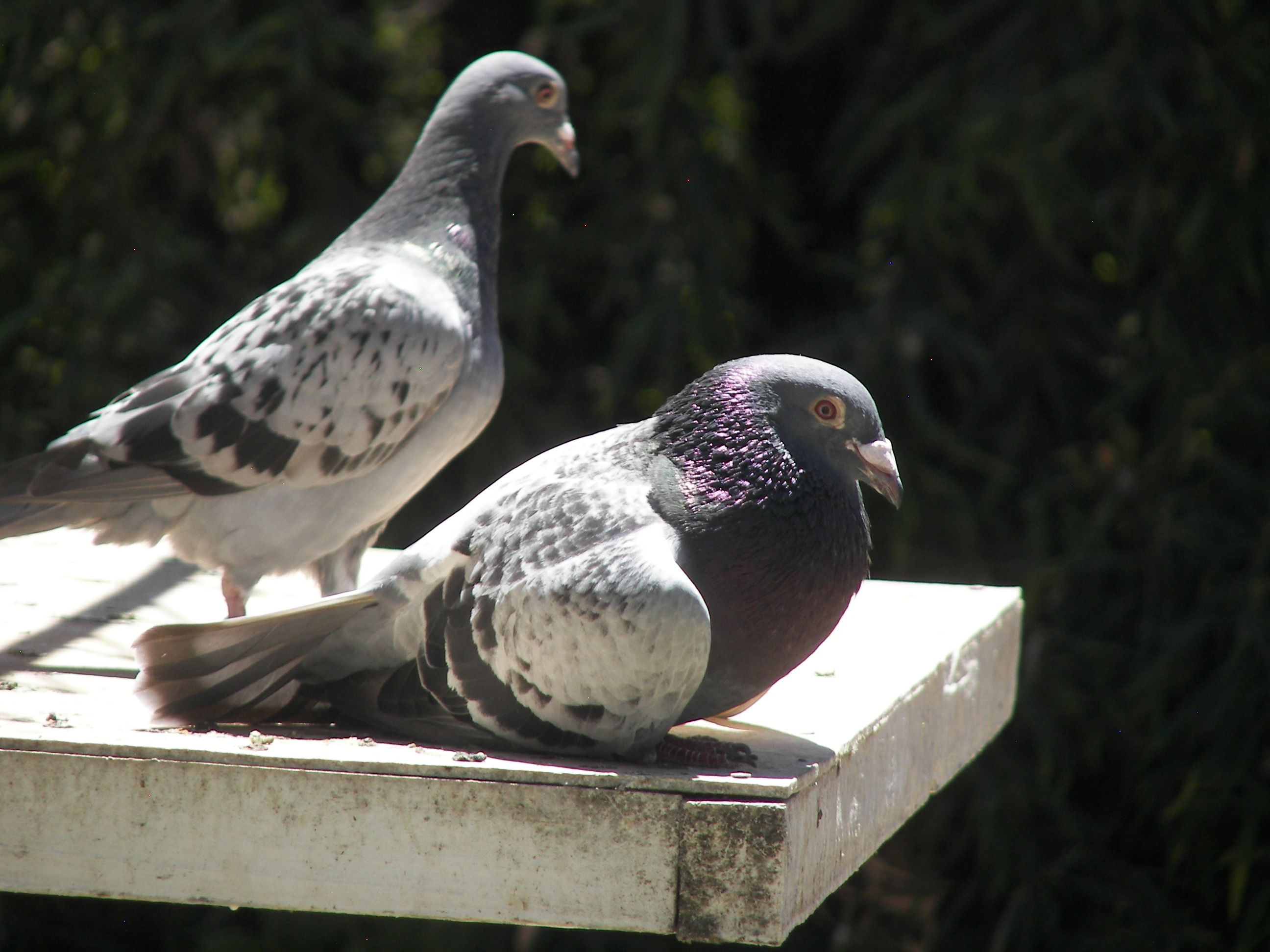 Racing pigeons relaxing in the sun. This picture was taken