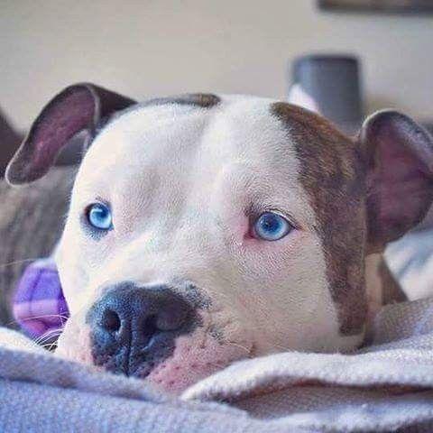 Blue Eyed So Pretty Lovely Little Pitty Pitbull Terrier