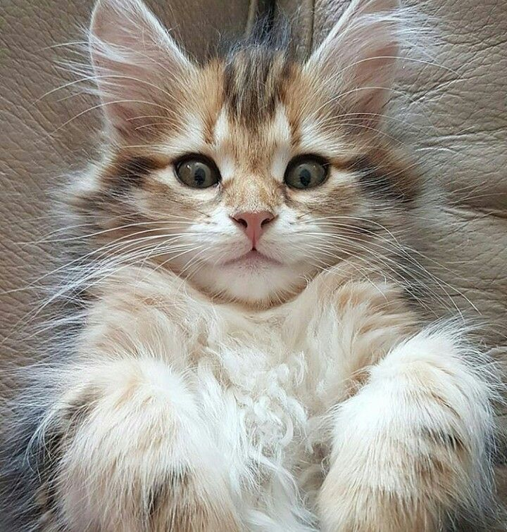 best images ideas of ragdoll kitten kitty most affectionate cat breeds tap the link now to see all of our cool cat collections