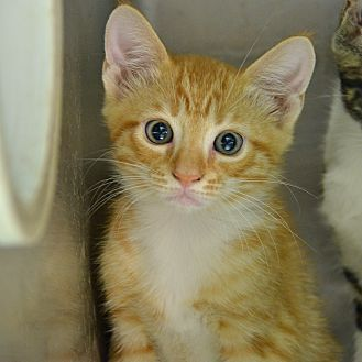 Pictures Of 10311388 A Domestic Shorthair For Adoption In