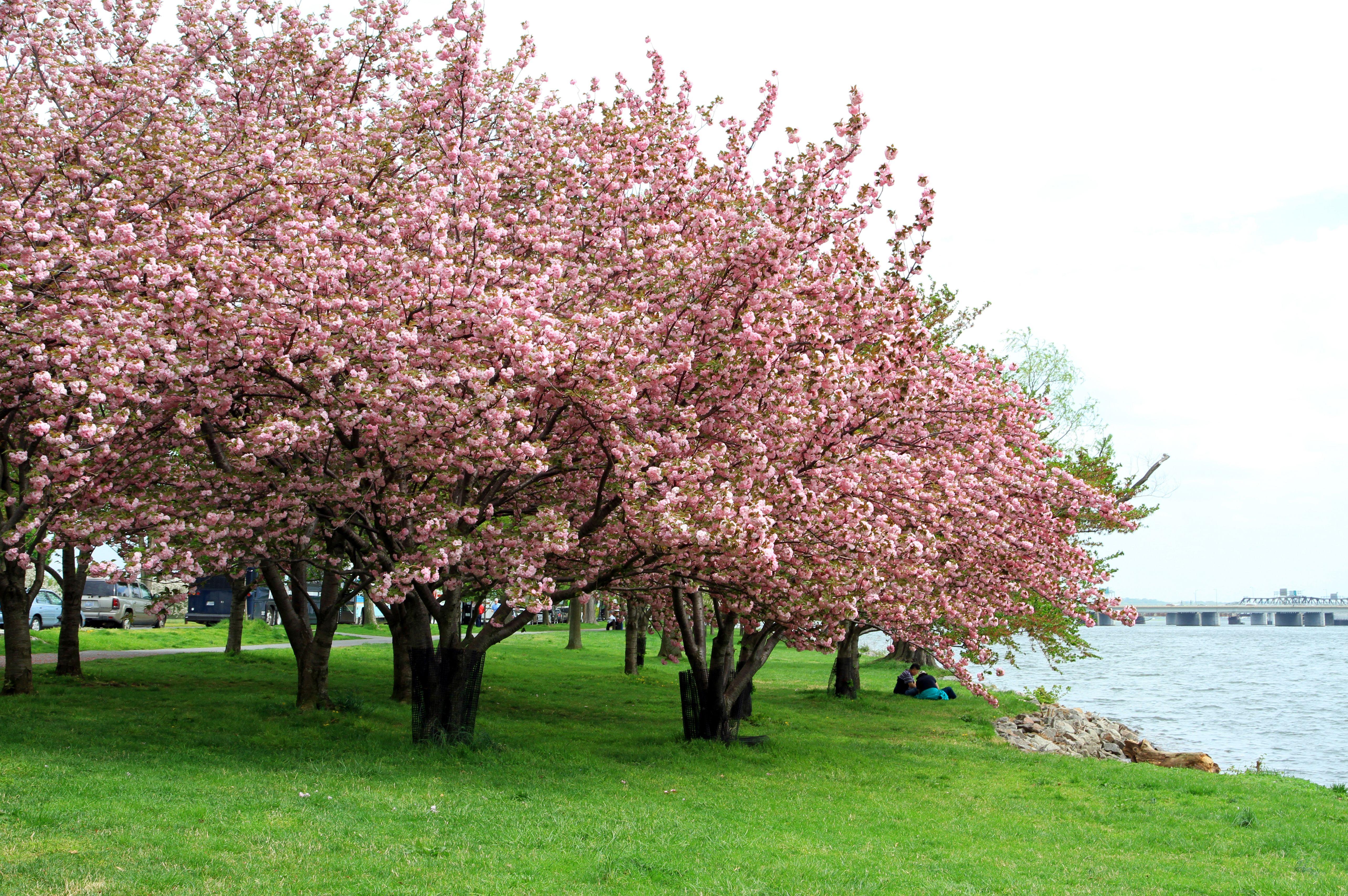 Flowering Cherry Tree Care