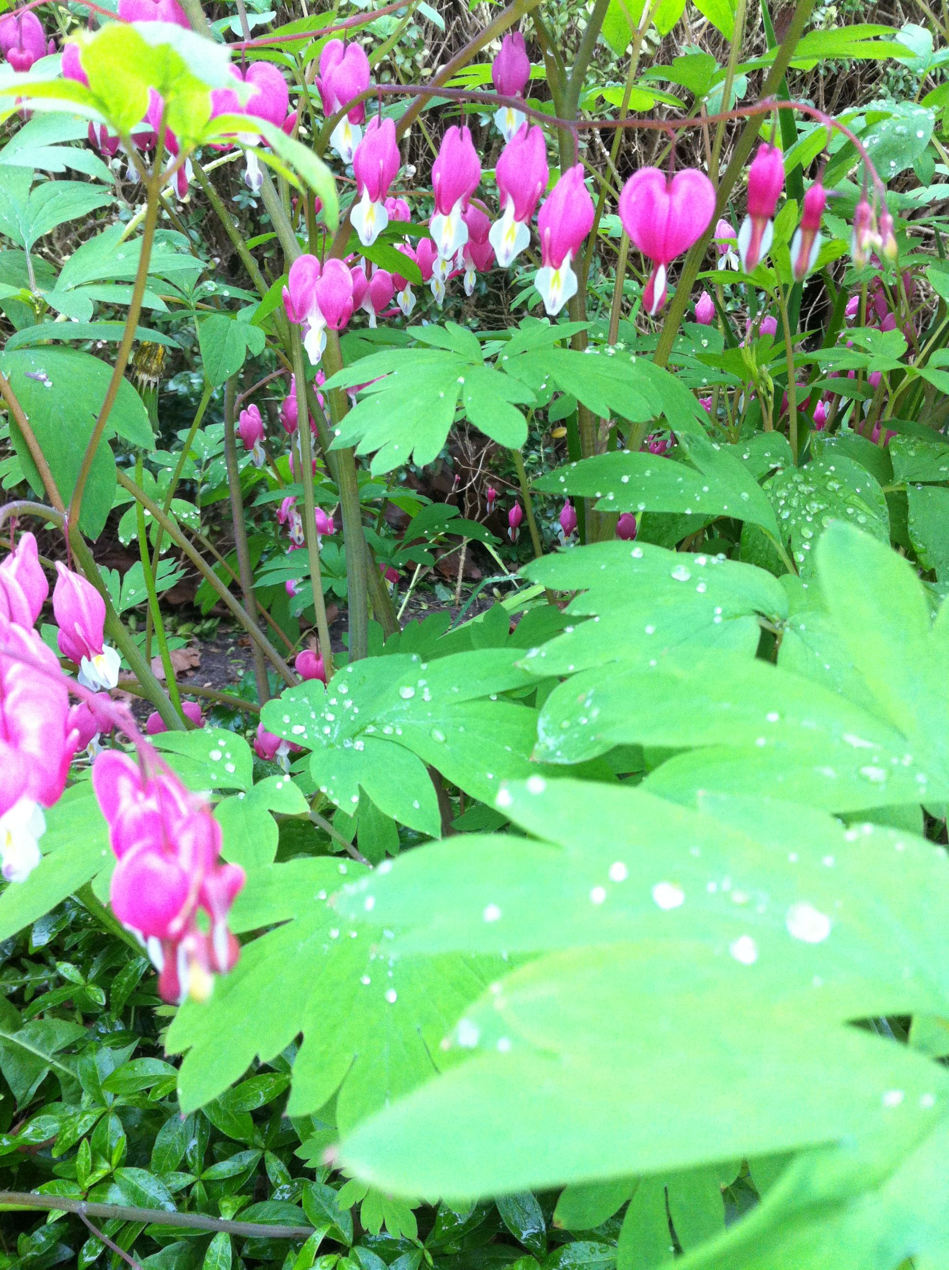 Gebroken hartje in bloei