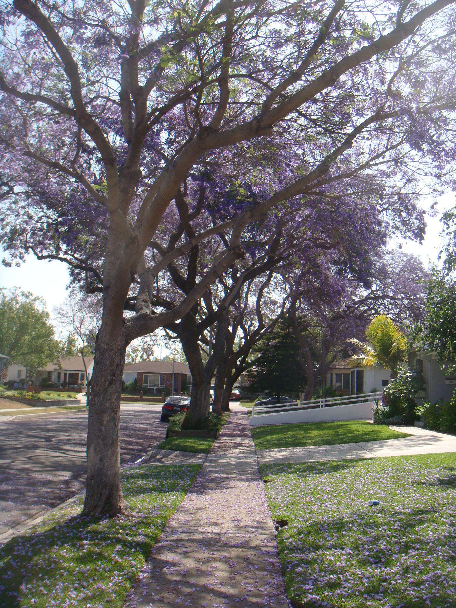 Purple Rain The Blooming Of The Jacaranda Trees In Lakewood Ca Long Beach California Lakewood California Jacaranda Tree