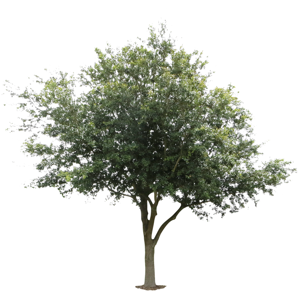 Immediate Entourage Free Cutout Photos For Architectural Rendering Tree Photoshop Tree Psd Tree Render