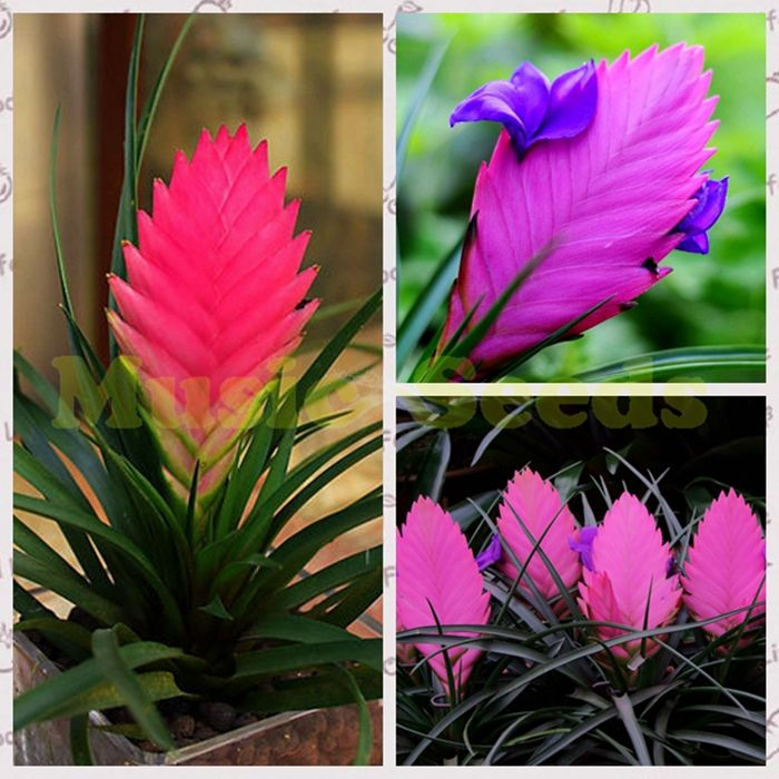 1Bag=50pcs HOT SALE  Tillandsia seeds potted flower seeds purple chinese rare Bonsai Decoration for Home & Garden free shipping