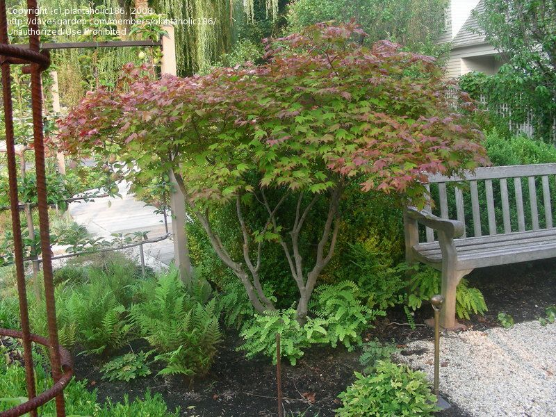 Full size picture of Japanese Maple 'Tsuma gaki' ( Acer ...