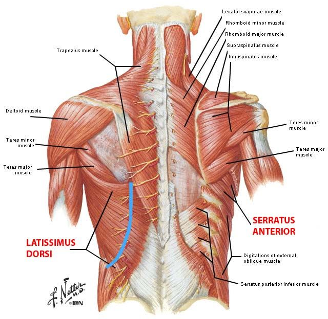 shoulder blade muscles - Google Search anatomy Pinterest