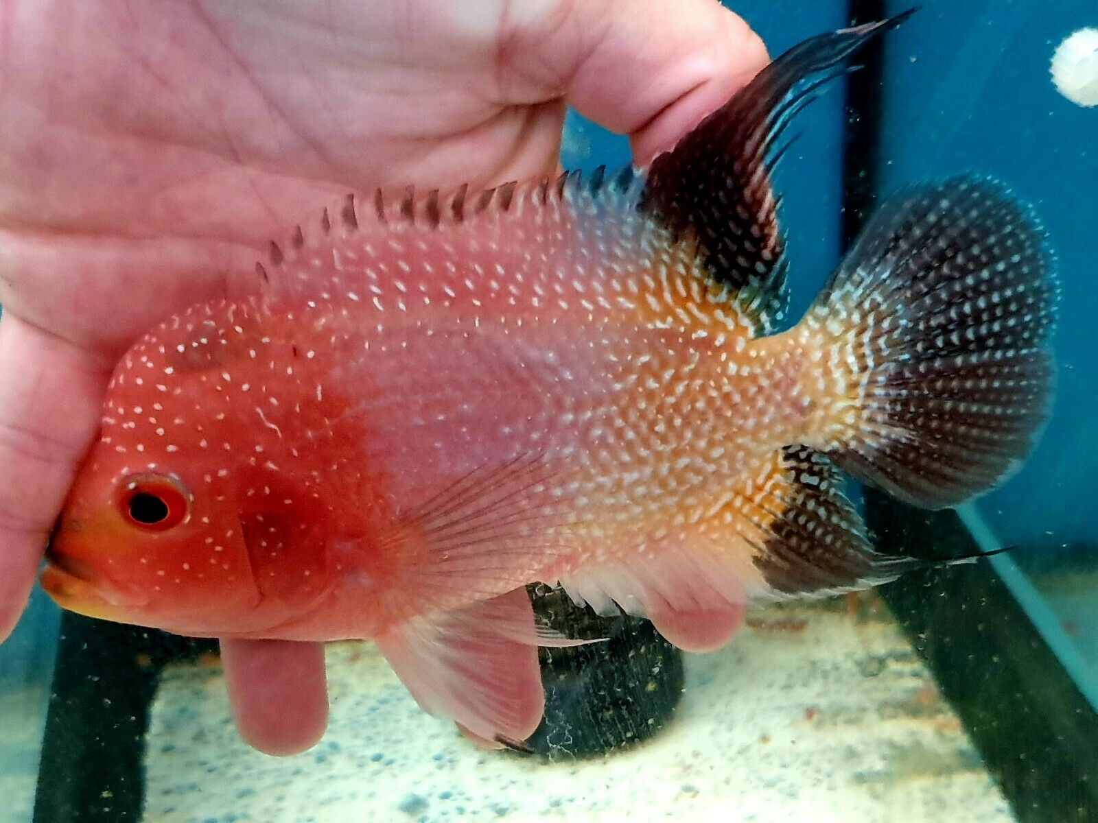 Flowerhorn 3 Tone Gold Base Kamfa Male Top Grade Fish For Sale Parrot Fish Cichlids