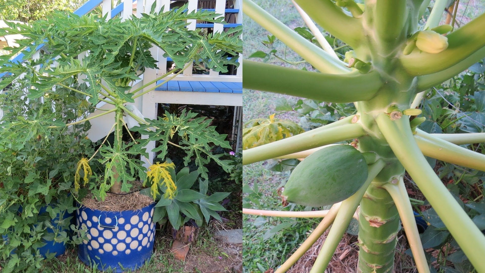Pin By Mart Hale On Larry Hall S Hybrid Rain Gutter Grow System Papaya Tree Food Garden Prune