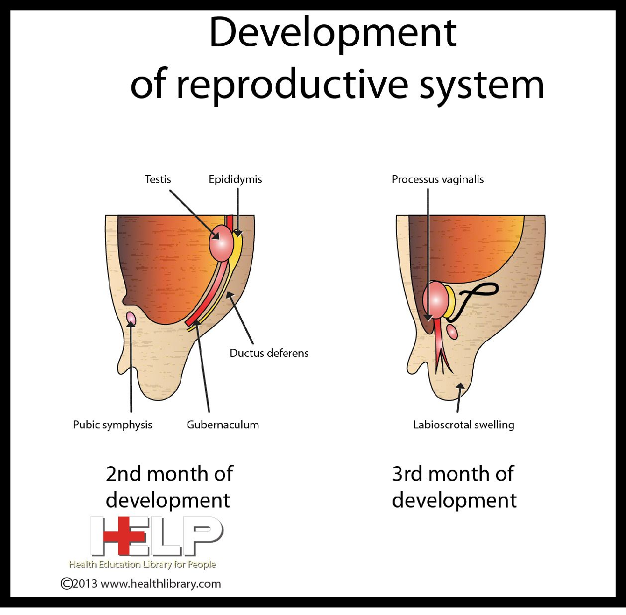 The Male Reproductive System Worksheet