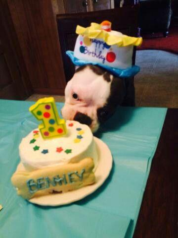 Best Boston terrier birthday ever!