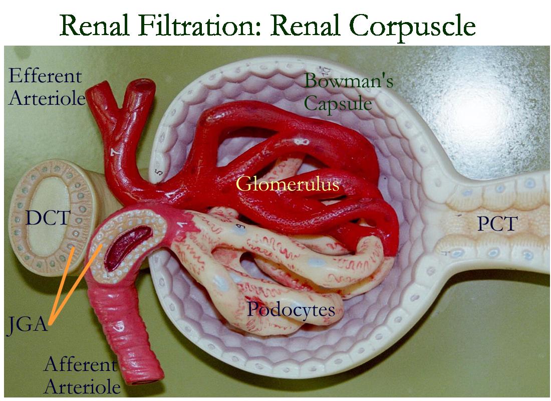 Model Of Kidneys Labeled