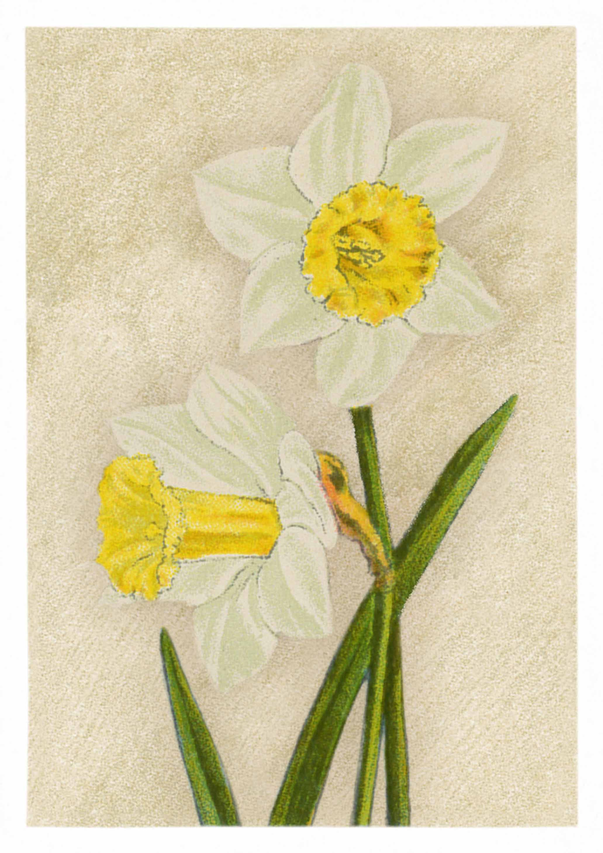 Daffodils in the spring lovely vintage flower drawing on canvas