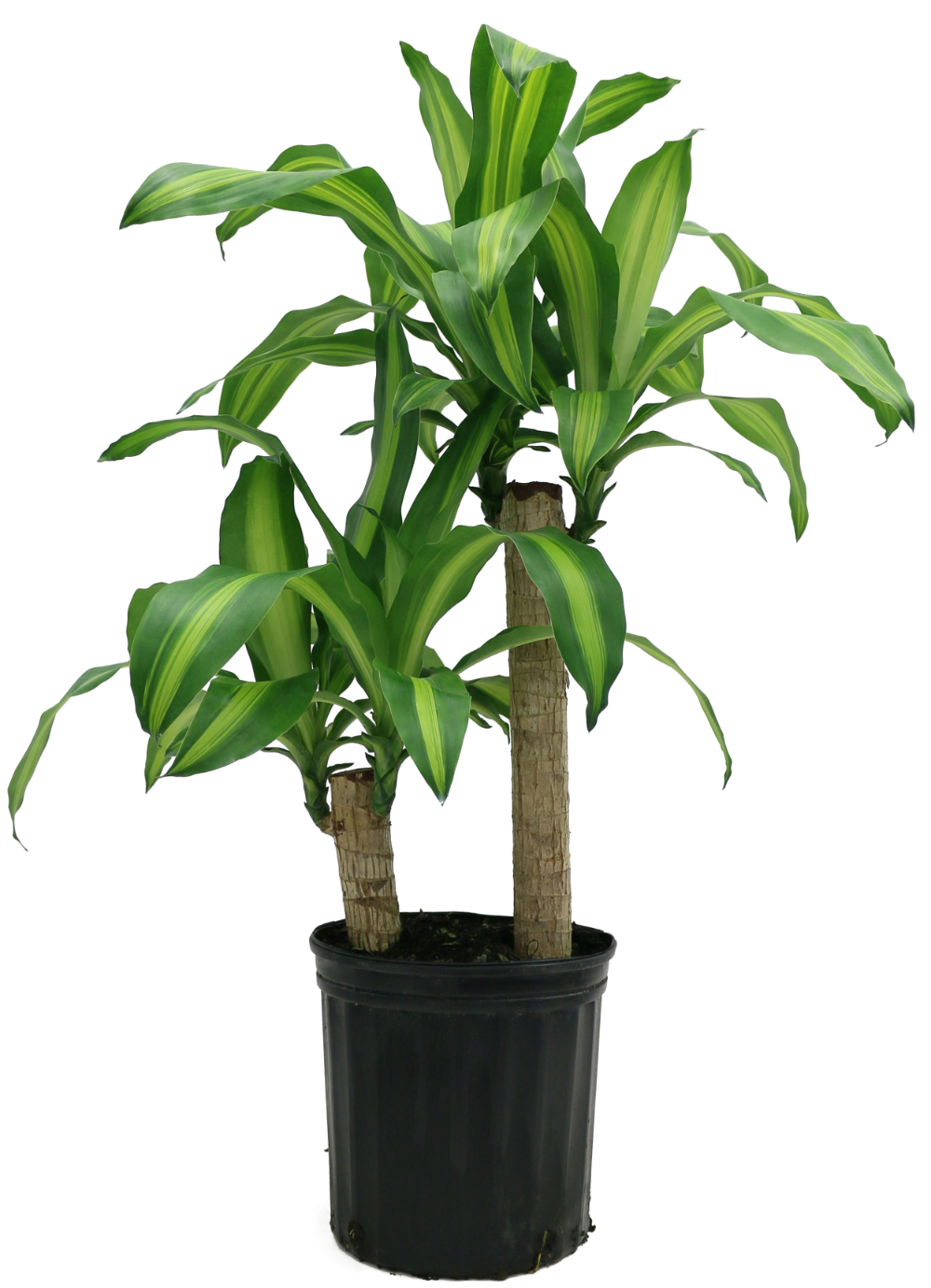 Patio & Garden in 2020 Corn plant, Live house plants