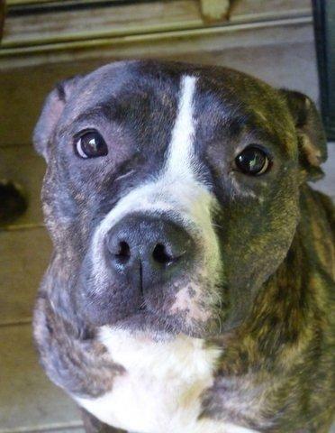 Adopt Lexi On Pitbull Terrier Pitbulls Beautiful Dogs