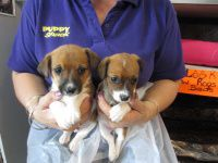 Puppy Shack Puppies for sale Brisbane, Queensland