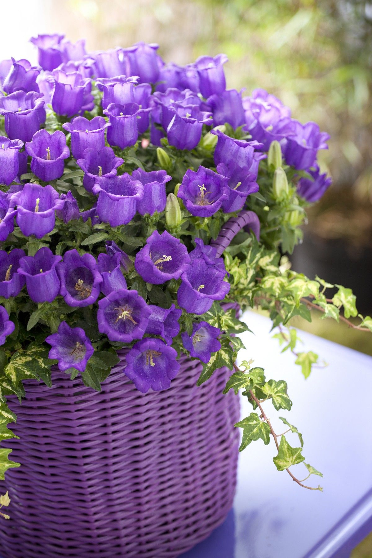 Campanula variegated ivy basket container campanula variegated ivy basket container shadecontainergardeningideas beautifulflowersphotography izmirmasajfo