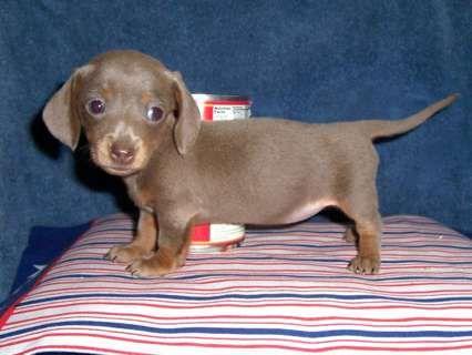 Micro Mini Dauchshunds Hoobly Akc Micro Mini Dachshund Puppies