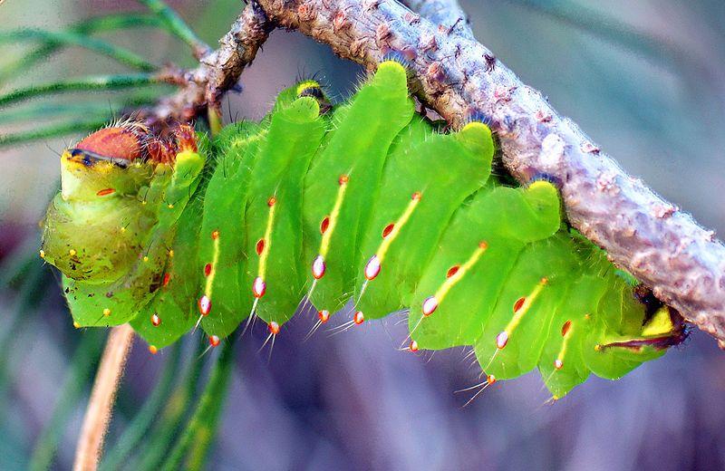 File Antheraea Polyphemus Larva Jpg Wikispecies Venomous Animals Animal Quiz Caterpillar
