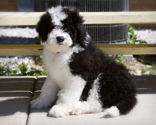Sheepadoodle Sheepdog Poodle Mix Info Miniature Puppies