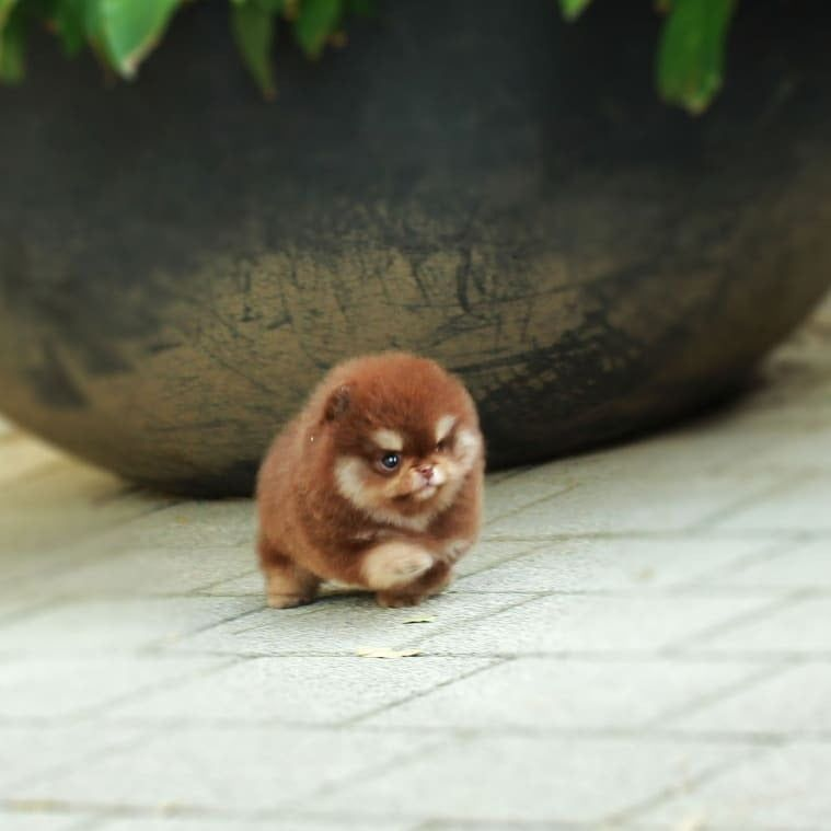 pomeranian puppies for sale in 2020 Really cute puppies