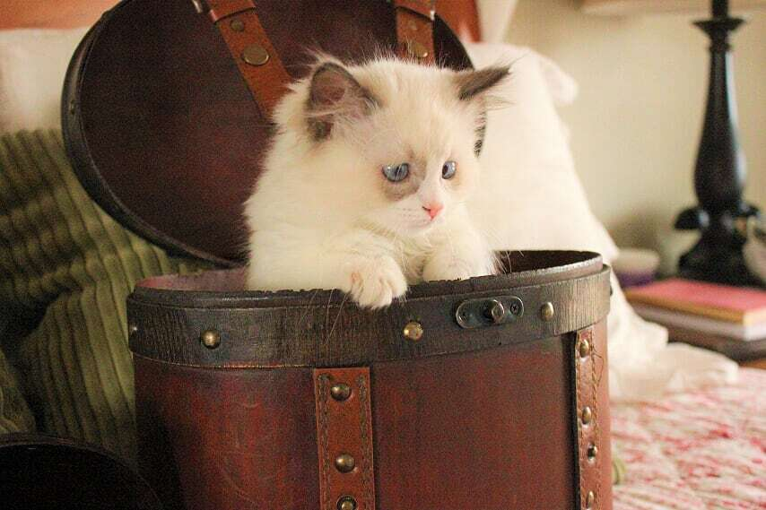 Pin by Aspen Ragdolls on Aspen Ragdoll Kittens Ragdoll
