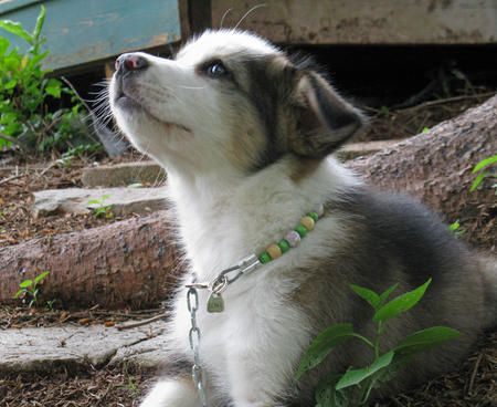 Sophie The Husky Mix Haha Pinterest Puppies Husky Mix And Husky