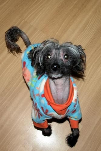 Lily Is An Adoptable Chinese Crested Dog Dog In Wausau Wi Lily Is