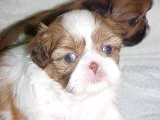 Shih Tzu Puppy Green Eyes Liver Shih Tzu Puppy Shih Tzu Puppies