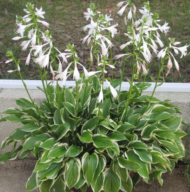 medium size variegated hosta full