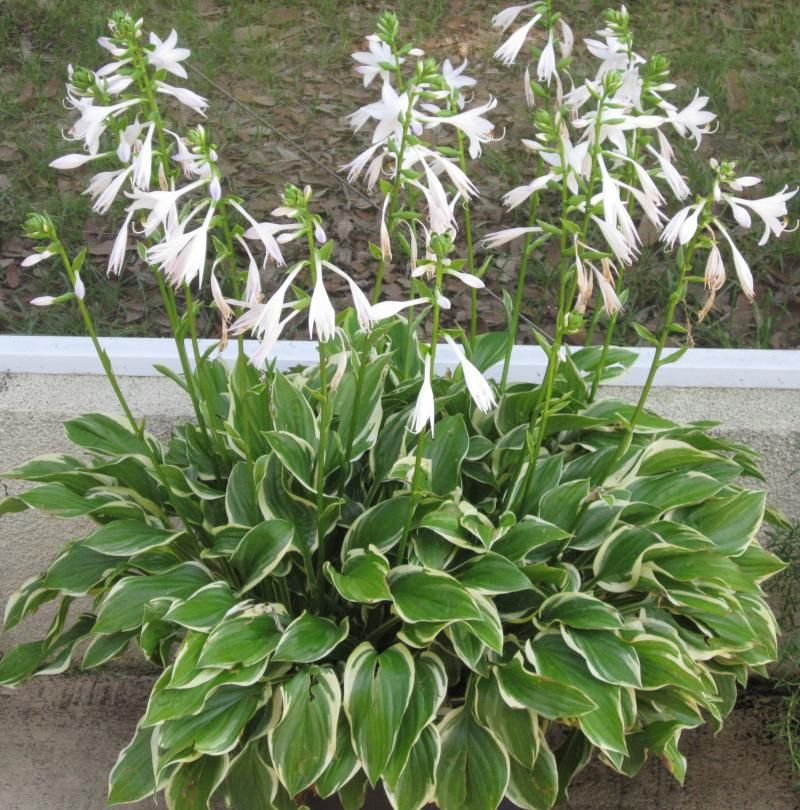 Medium size variegated hosta full sun and hot humid for Full sun landscaping plants