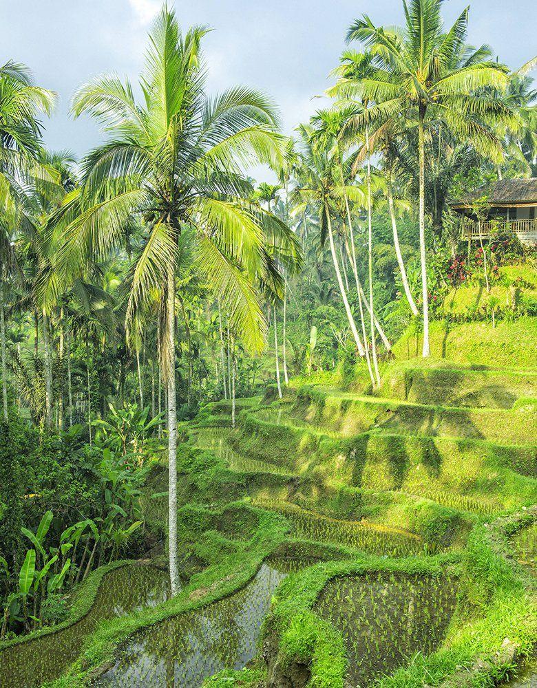 Reisterassen in Ubud, Bali/Indonesien